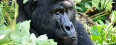 Gorilla Trekking Trips, Tours and Safaris