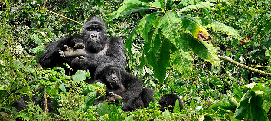 Uganda Gorilla Tracking in Bwindi tour