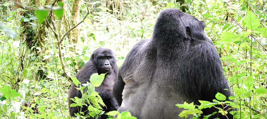 4 Day Chimps and Gorilla Trekking Tour