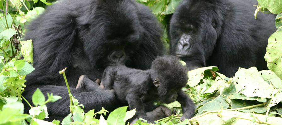 Gorilla Trekking in Volcanoes National Park, Rwanda