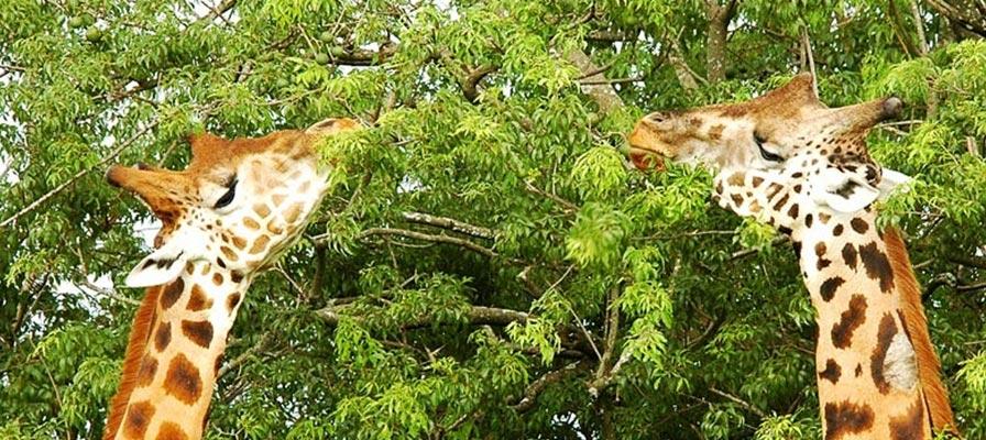 Short Uganda Safari - Murchison Falls safari - Murchison Falls National Park Safari