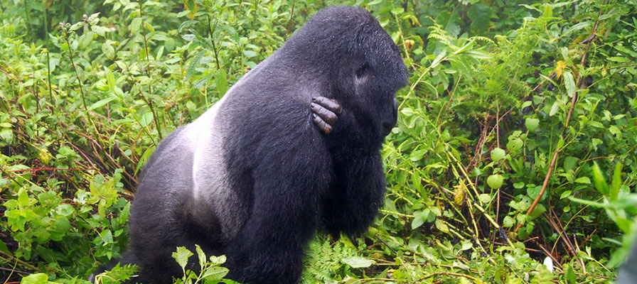 A Silverback Male Mountain Gorilla in Bwindi Impenetrable Forest