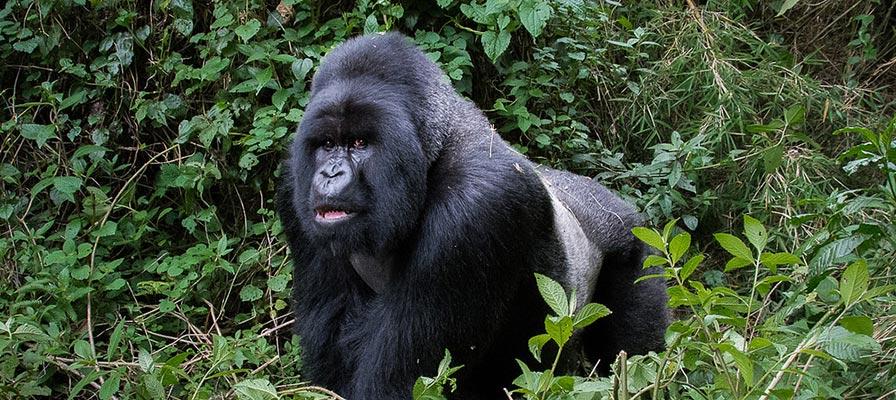 10 Day Gorilla Trekking, Uganda gorilla trekking