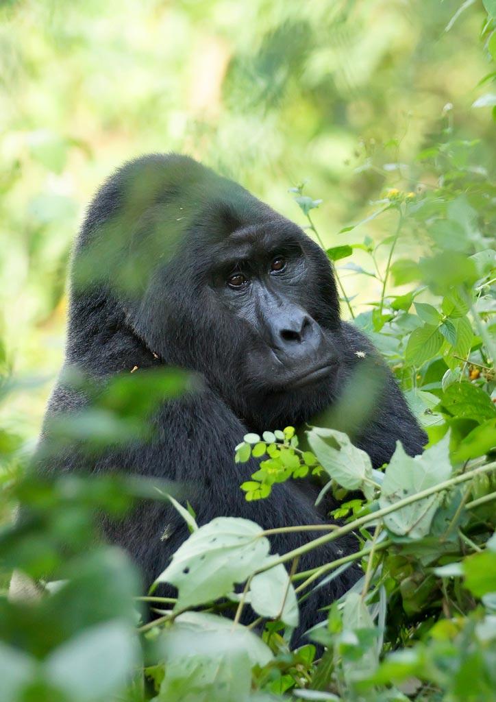 The Silverback Mountain Gorilla
