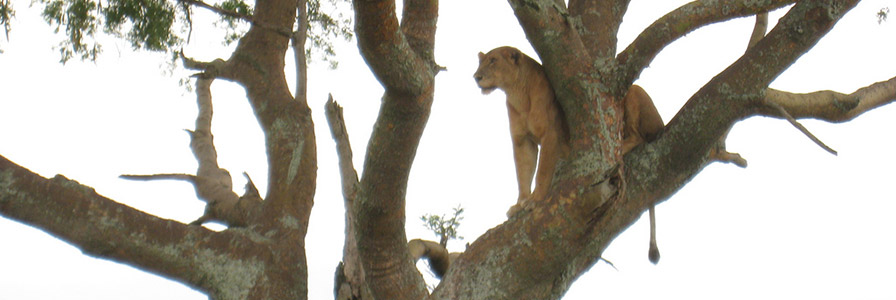 Ishasha Tree Climbing Lions - Queen Elizabeth National Park