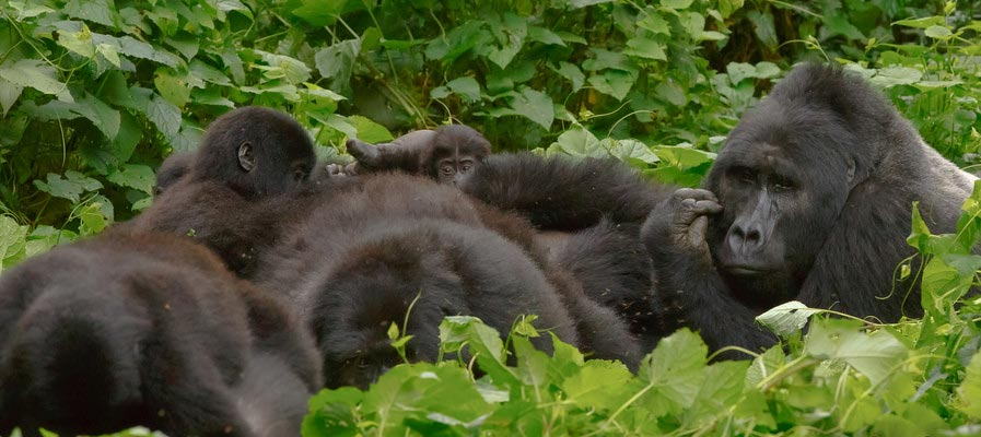 Habinyanja gorilla family in Bwindi Impenetrable National Park in Uganda. The silver back is Makara. See the baby in the back?
