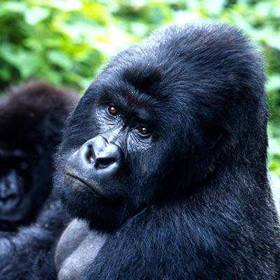 Mountain Gorilla in Uganda & rwanda