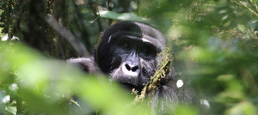 Uganda Gorilla Trekking: A Guidance For Gorilla Trekkers - trekking news - 9 day Uganda Rwanda Safari
