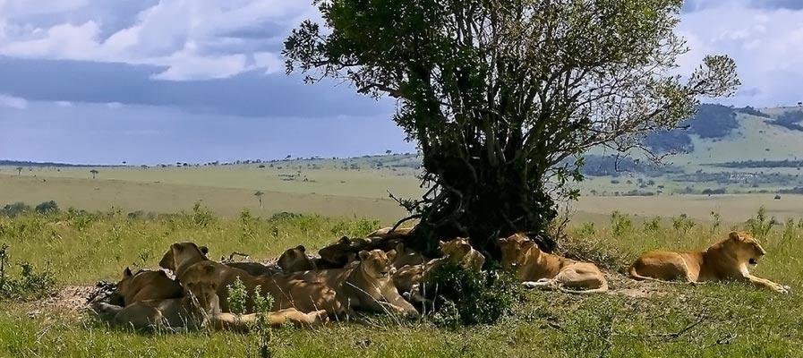Uganda - Rwanda Safari - QENP Tree Climbing Lions Chilling
