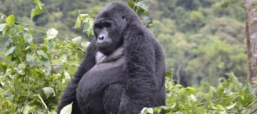 Rwanda and Uganda Gorilla Trek Safari