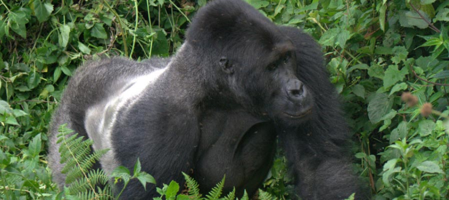 Game Drive in Uganda & Gorillas in Rwanda Tour