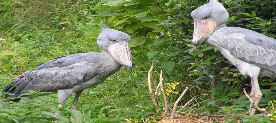 The Legendary Shoebill - Uganda Birding Safari Sesse Islands