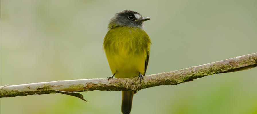 Chestnut-capped Flycatcher - Uganda Birding Safari Bird watching tour