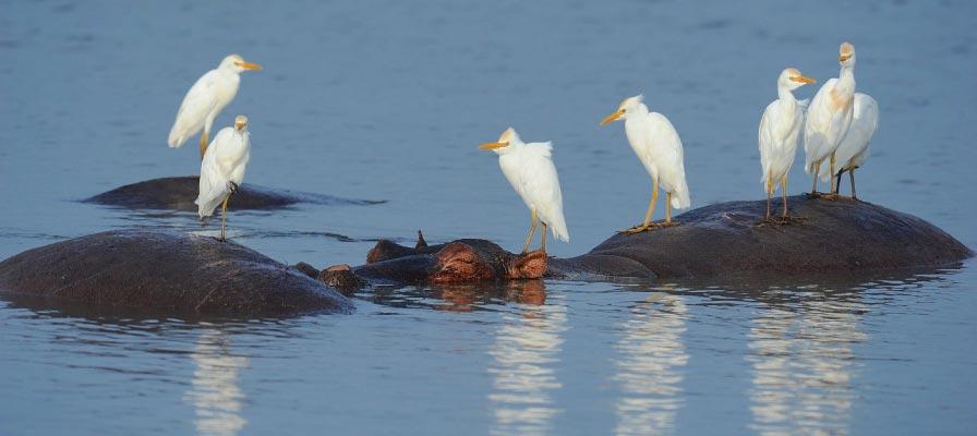 Murchison Falls Bird Watching Safari cattle egrets, Uganda birding Safari