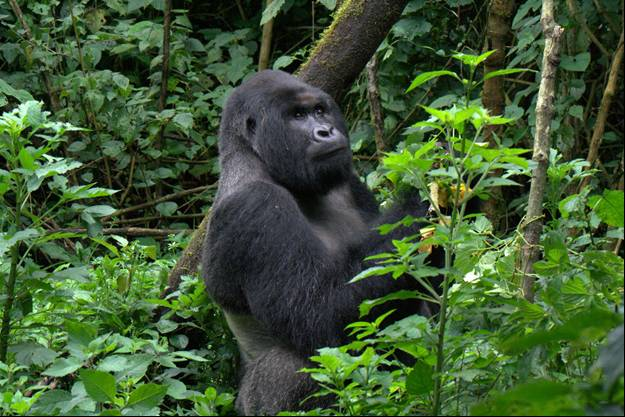 Gorilla Groups in Congo, Mvuyekure is the dominant Silverback of Mapuwa group.