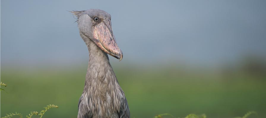 The Legendary Shoebill - Uganda Birding Safari and Birdwatching Tour