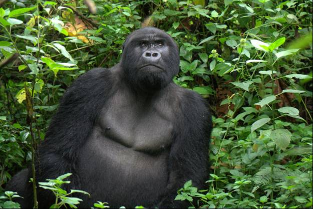 Tracking Gorillas in Congo - Sebagabo, a black back gorilla in Mapua group, Virunga National Park, Democratic Republic of Congo