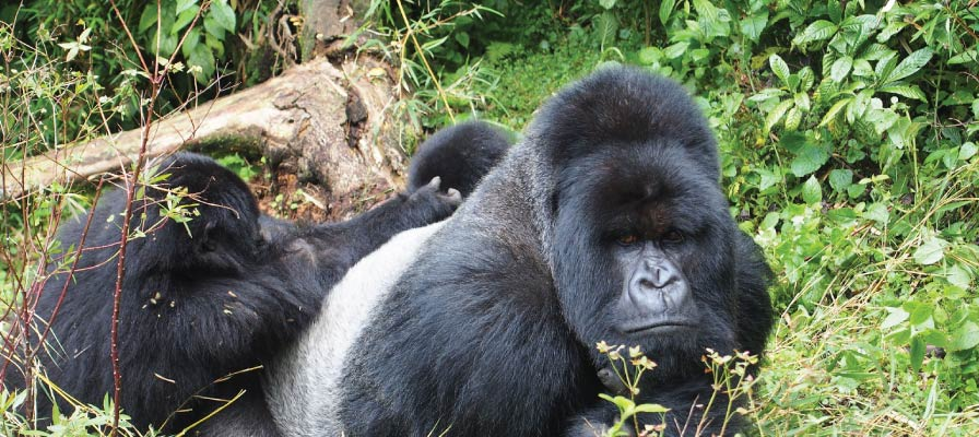 Mountain Gorilla Trekking in Uganda