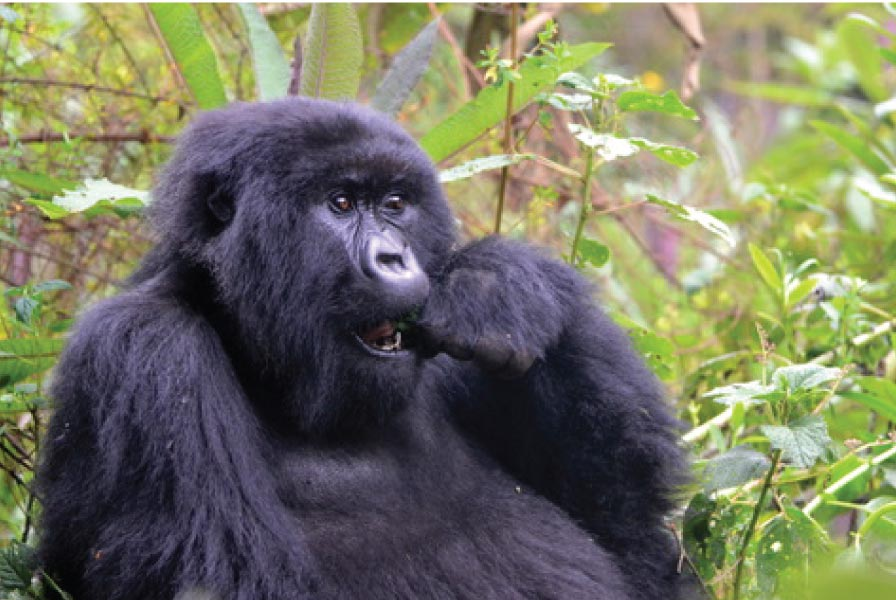 Rwema, a member of Kuryama Gorilla group