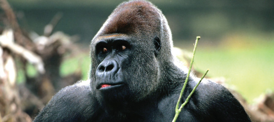 The Eastern Lowland gorillas
