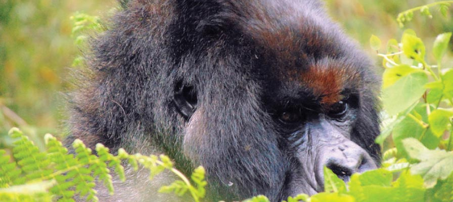 Silverback Vuba - Kuryama Gorilla group - Parc National Des Volcans
