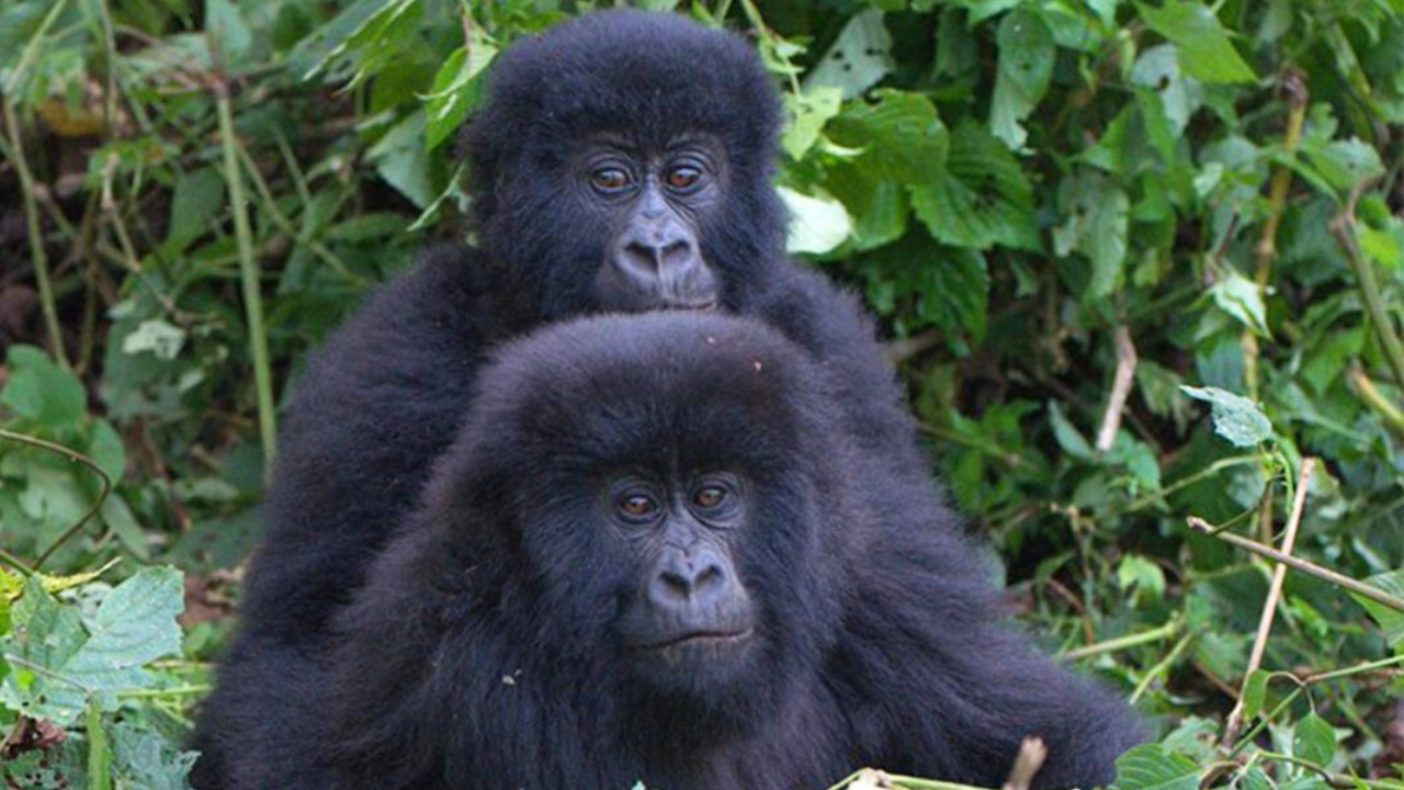 Bageni Gorilla Group