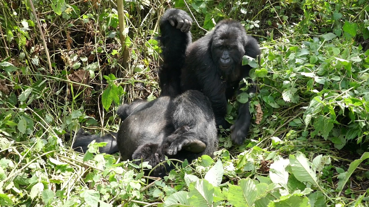 Humba Gorilla Group