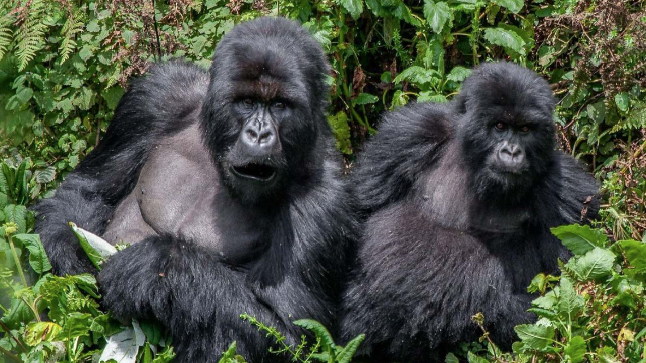 Munyaga Gorilla Group