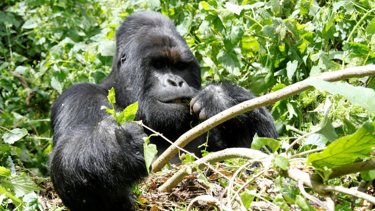 Nyakamwe Gorilla Group