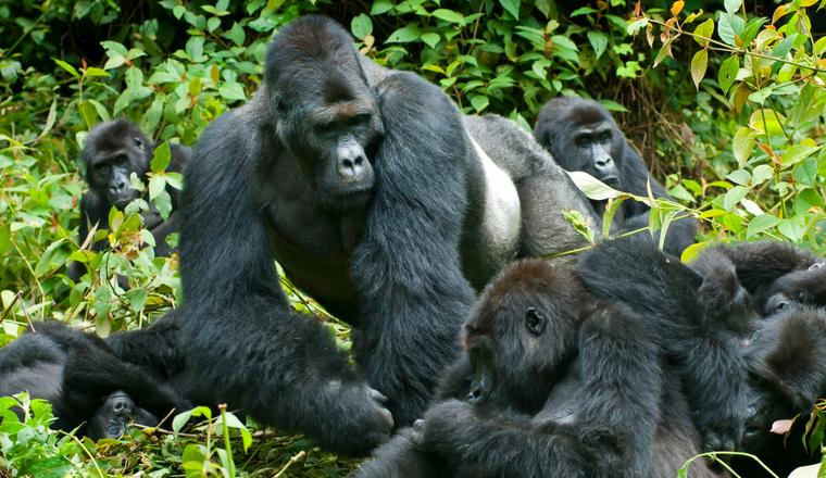 Gorilla Trekking Experience in Uganda Vs Rwanda