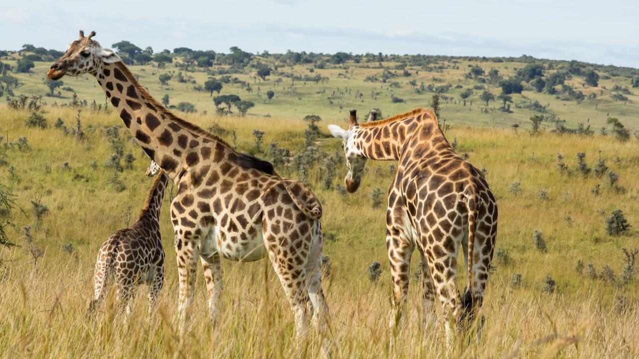 giraffe in Uganda safari tours