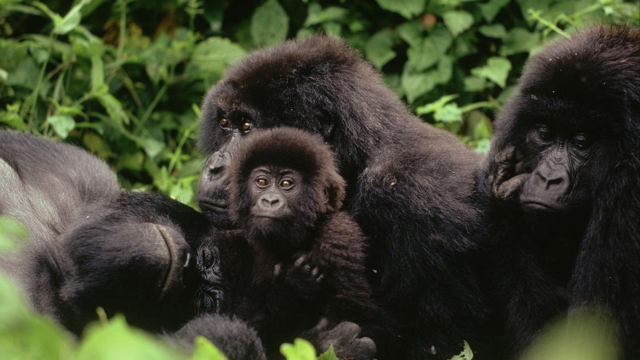 mountain gorillas in DRC