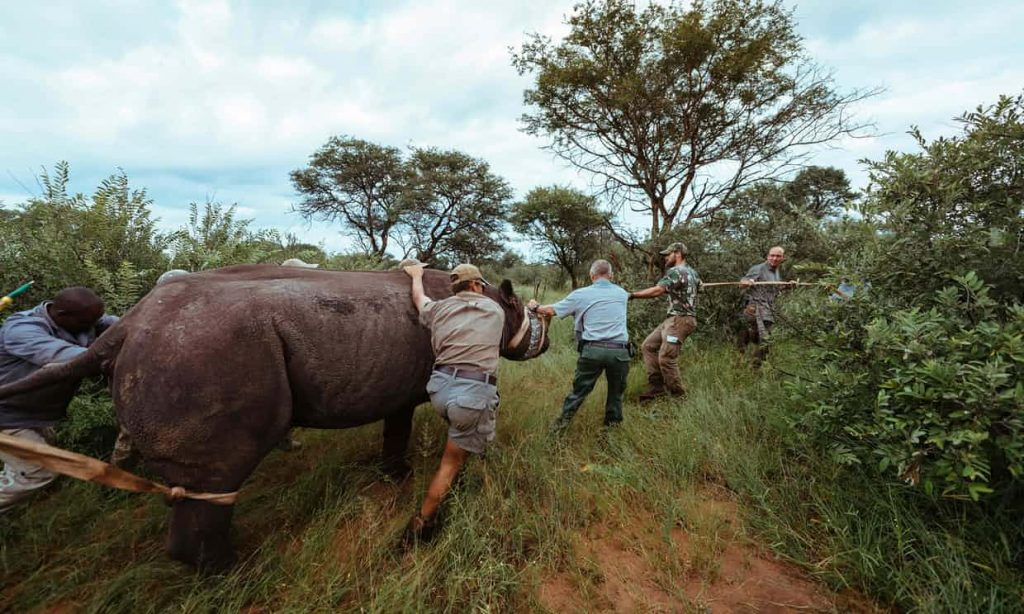 Ziwa Rhinos on the Murchison Falls Big 5 Trail