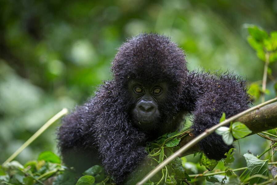 Mountain Gorilla Population Increases - 2018 Report