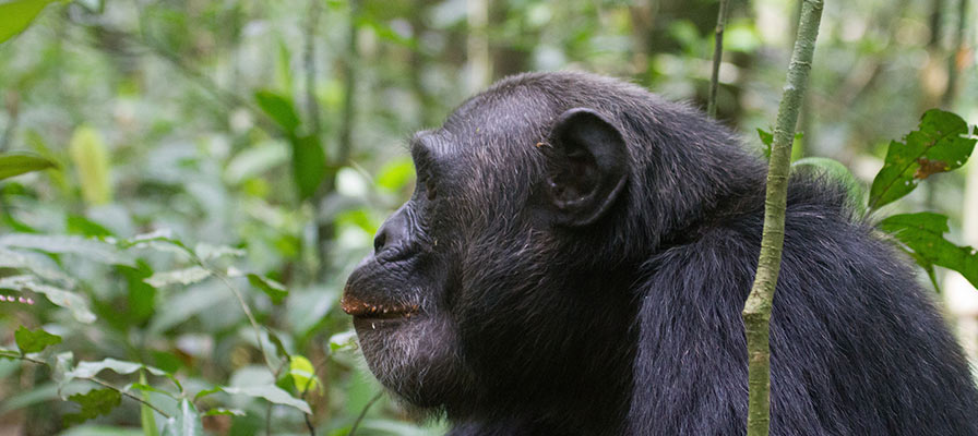 Chimpanzee habituation experience in Kibale Forest