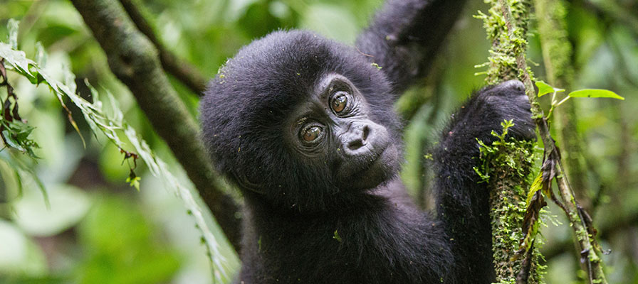 Gorilla habituation experience in Bwindi Impenetrable National Park