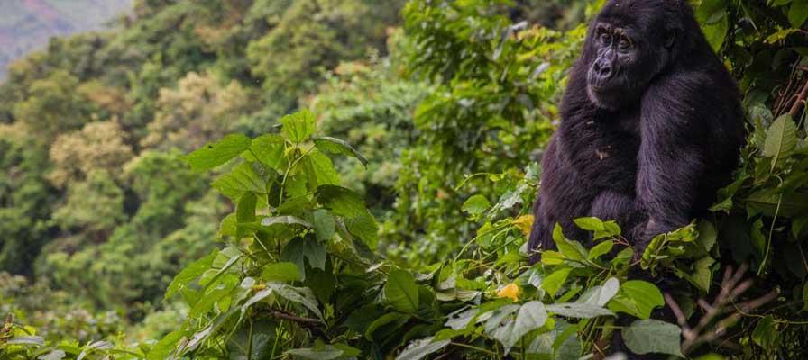 Uganda Gorillas Wildlife Experience