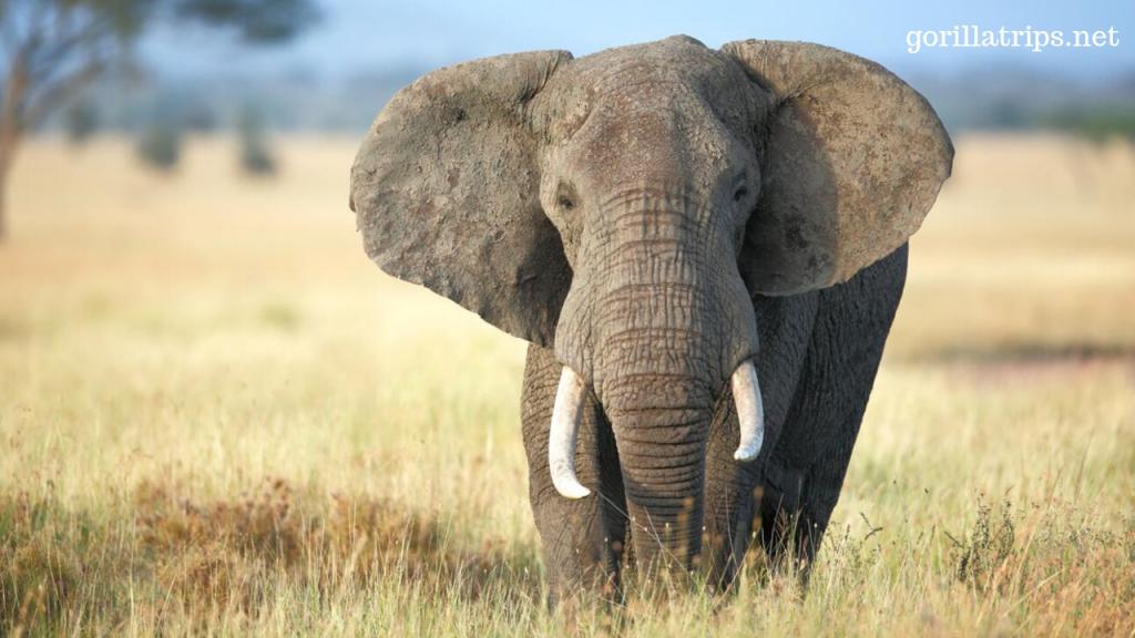 African Elephant in Uganda