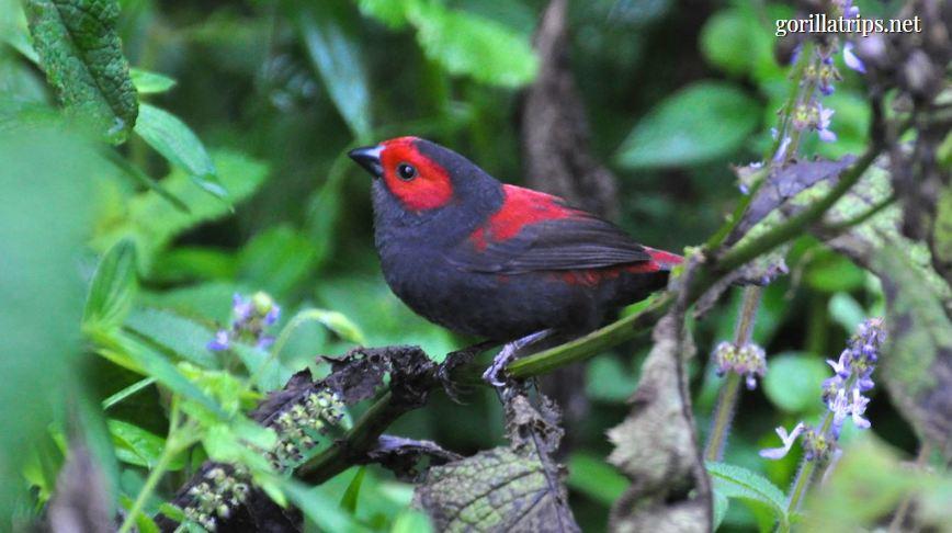 Dusky Crimsonwing