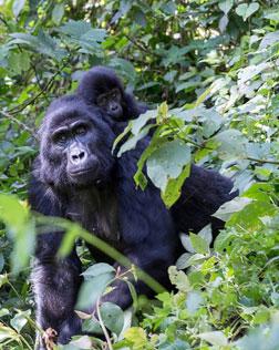 Gorilla Trekking Rwanda & Wildlife Safari