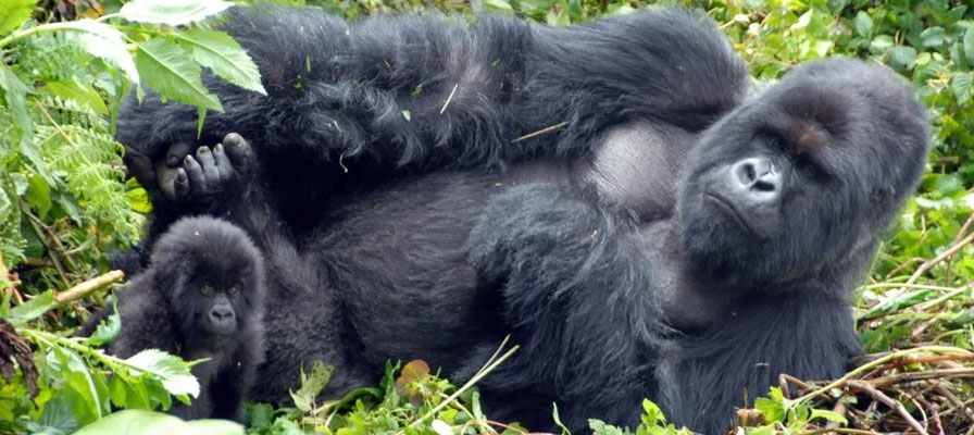 3 Day Congo Mountain Gorilla Trek and Lake Kivu