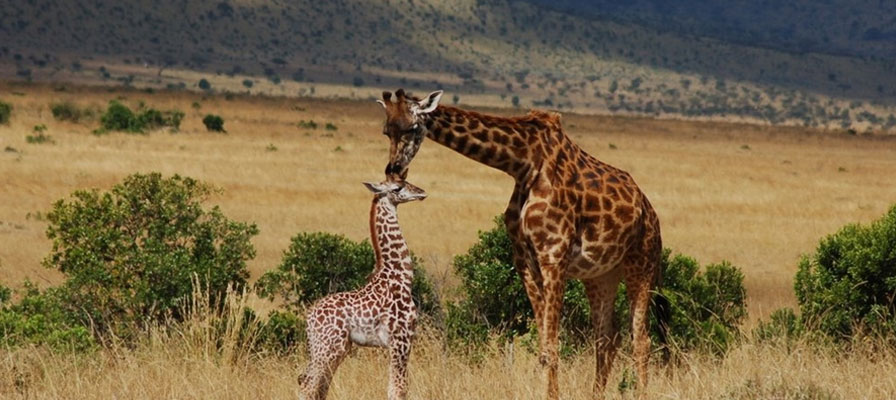 3 Days Maasai Mara Luxury Safari In Kenya