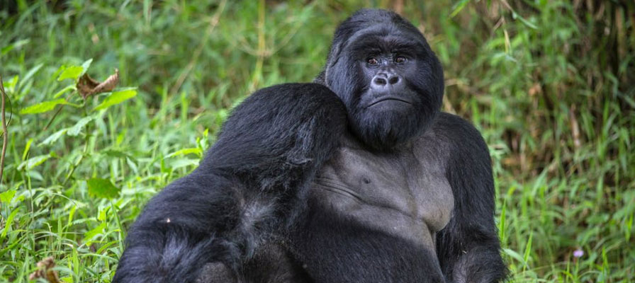 4 Day Congo Mountain Gorilla Trek and Golden Monkey tracking in Rwanda