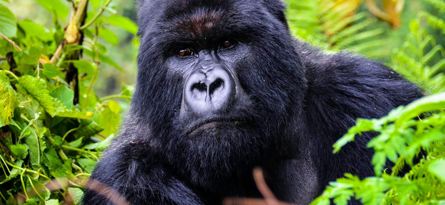 Mountain Gorilla In Congo