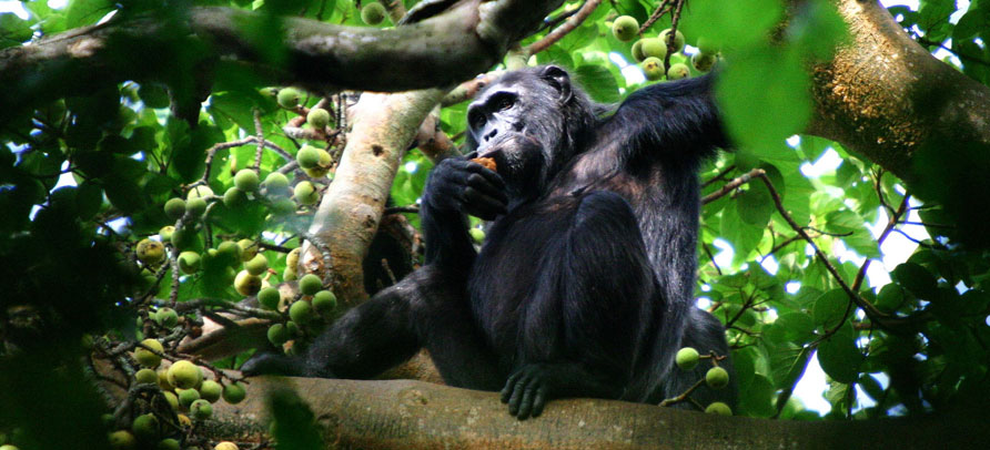 3 Day Kibale Forest Chimpanzee Safari