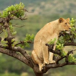budget-rwanda-safari-fig-1