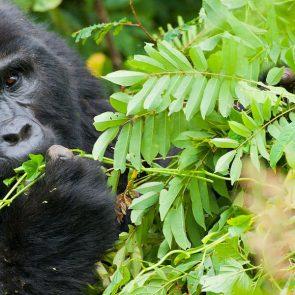 gorilla-tracking-rwanda-banner