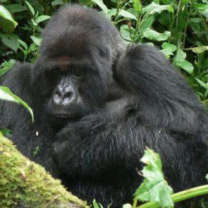 gorilla-tracking-rwanda-fig-1