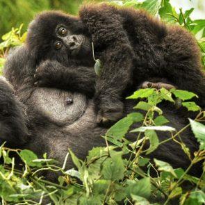 rwanda-safari-packages-fig-2