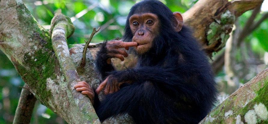 Chimpanzee Trekking In Uganda